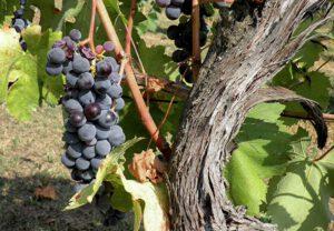 Impuls für den Tag – 01.06.2020 – Der Weinstock und die Reben